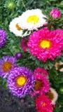 chrysanthèmes multicolores images stock
