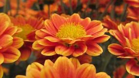 Chrysanthèmes oranges dans un jardin botanique photographie stock libre de droits