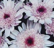 Chrysanthèmes ornementaux de fleurs image libre de droits