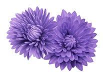 Chrysanthèmes violets de fleur ; sur un blanc fond d'isolement avec le chemin de coupure closeup Aucune ombres Pour la conception Photos libres de droits