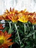 Chrysanth花 免版税库存图片