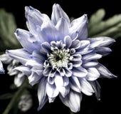 Chrysanth di sguardo spettrale, intrigante Fotografia Stock Libera da Diritti