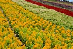 Chrysanth Feld Stockfoto