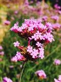 Chrysanth Feld Stockbilder
