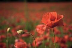 Chrysanth Feld Erinnerungstag, Anzac Day, Ruhe stockfotografie