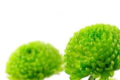 Chrysanth grünes Santini Stockfotos