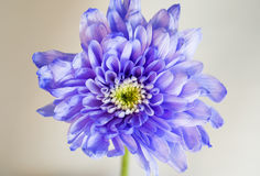 Chrysanth imperfeito violeta no branco Imagem de Stock