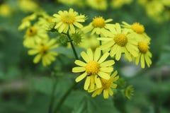 Chrysanth?me sauvage jaune image libre de droits