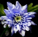 Chrysanth violeta no quadrado preto Imagens de Stock