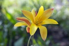 Chrysantha do stellata do Tulipa na flor, tulipas de senhora douradas de florescência Fotos de Stock Royalty Free