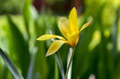 Chrysantha do stellata do Tulipa na flor, tulipas de senhora douradas de florescência Fotografia de Stock Royalty Free