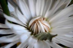 Chrysanthamum Stock Images
