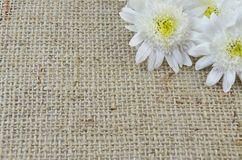Chrysanthema on a special knitted table cloth Stock Image