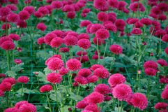 Chrysantheme ï ¼ ˆlollipop purpleï ¼ ‰ Stockbilder