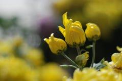 Chrysantheme Stockbilder