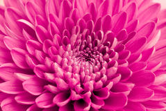 Chrysantheme Stockbilder