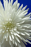 Chrysantheme Stockfoto