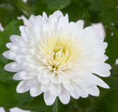 Chrysantheme Lizenzfreie Stockfotos
