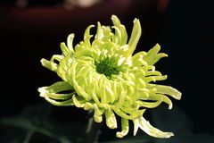 Chrysantheme stock abbildung