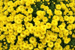 Chrysantheme Stockfotos