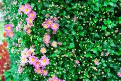 chrysantheme Lizenzfreie Stockfotos