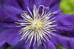 chrysantheme Lizenzfreie Stockbilder