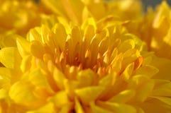 Chrysantheme Lizenzfreies Stockbild