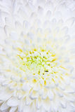 Chrysantheme Stockfotografie