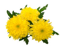 Chrysantheme Stockfotos