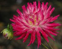 Chrysantheme auf Feuer Stockfotos