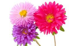 Chrysantheme auf getrennt Lizenzfreies Stockfoto
