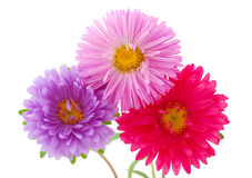 Chrysantheme auf getrennt Stockfotografie