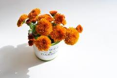 Chrysantheme blüht in einem dekorativen Topf auf einem weißen Hintergrund Stockbilder