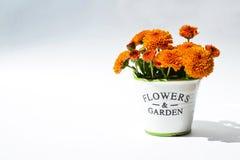 Chrysantheme blüht in einem dekorativen Topf auf einem weißen Hintergrund Lizenzfreies Stockfoto