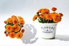Chrysantheme blüht in einem dekorativen Topf auf einem weißen Hintergrund Lizenzfreie Stockfotos