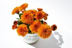 Chrysantheme blüht in einem dekorativen Topf auf einem weißen Hintergrund Lizenzfreies Stockbild