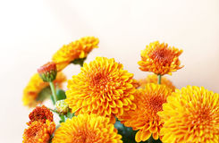 Chrysantheme blüht Hintergrund Stockbild