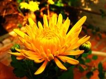 chrysantheme Blumen Lizenzfreie Stockbilder