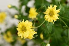 Chrysantheme Dendranthema indicum L Blumen Lizenzfreie Stockbilder