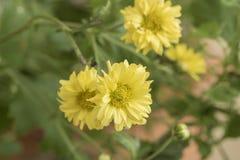 Chrysantheme Dendranthema indicum L Blumen Stockfoto