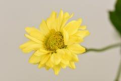 Chrysantheme Dendranthema indicum L Blumen Lizenzfreie Stockfotografie