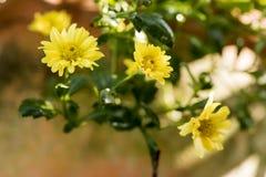 Chrysantheme Dendranthema indicum L Blumen Stockfotografie