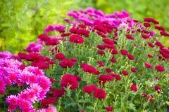Chrysantheme im Garten, des im Freien purpurrote Zusammenstellung Herbstes frisch, botanisch, Feiertage November lizenzfreies stockbild