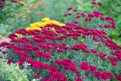 Chrysantheme im Garten, des im Freien purpurrote Zusammenstellung Saisonherbstes frisch, botanisch, Feiertage November stockfotografie
