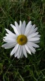 Chrysantheme Leucanthemum Stockfotos