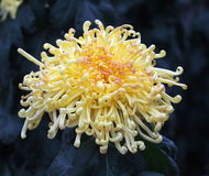 Chrysantheme mit den gelockten Blumenblättern Lizenzfreie Stockfotos