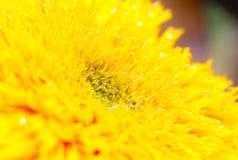 Chrysantheme mit Wassertropfen stockfotos