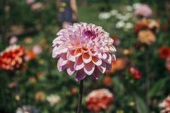 Chrysantheme morifolium Blumenmischungs-Farbnahaufnahme Lizenzfreies Stockbild