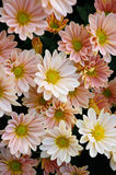 Chrysantheme (Süd-Shannon Xi Yun) Lizenzfreie Stockbilder