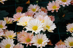 Chrysantheme ï ¼ ˆThe Süd-Shannon Xi Yunï-¼ ‰ Stockfotografie
